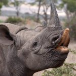 Black rhino eating