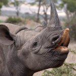 Black rhino eating