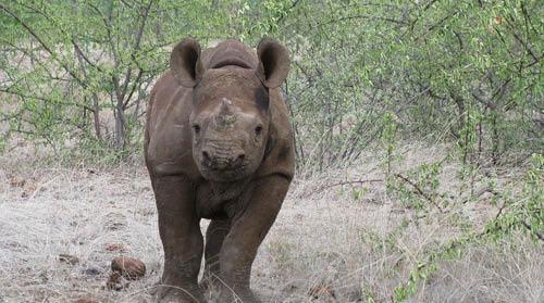 Black rhino calf, Zimbabwe