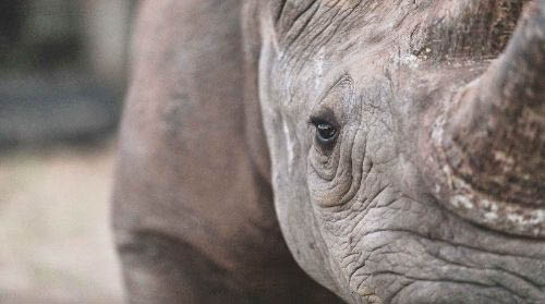 Black rhino close up