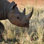 Black rhino walking, Kenya