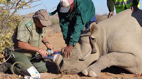 Dehorning rhino, Namibia