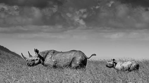 Black rhino and calf, James Lewin.