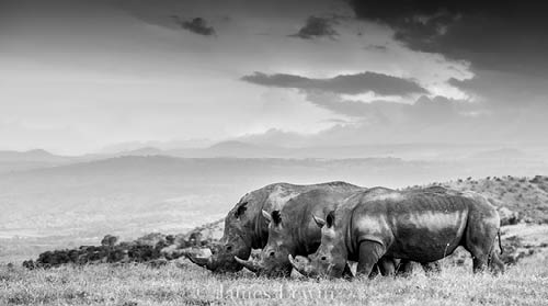 Three white rhinos, Borana Conservancy