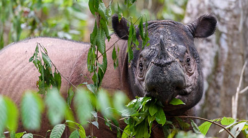 Sumatran rhino eating