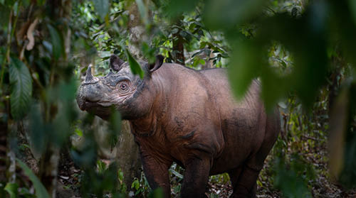 Sumatran rhino surrounded by trees.