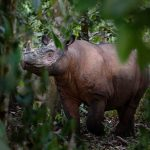 Sumatran rhino in the forest