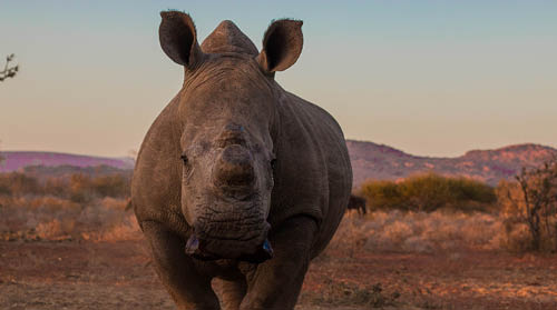 White rhino at sunset