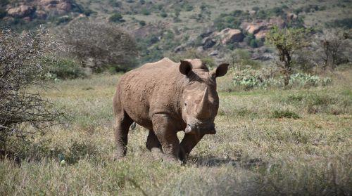 White rhino, Ol Jogi