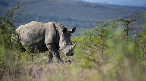 White rhino, Hluhluwe-iMfolozi