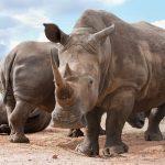 Crash of white rhinos