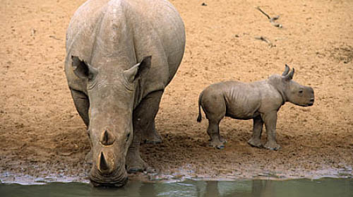 White rhino and calf drinking, uMkhuze Game Reserve